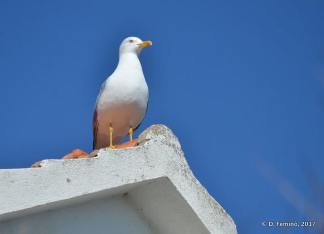Staring seagull (Preko, Croatia, 2017)