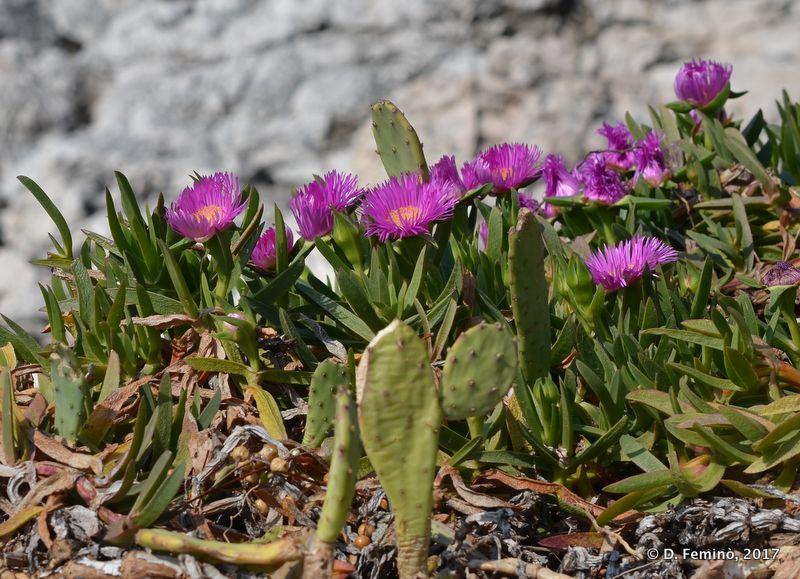 Blossomed macchia (Hvar, Croatia, 2017)