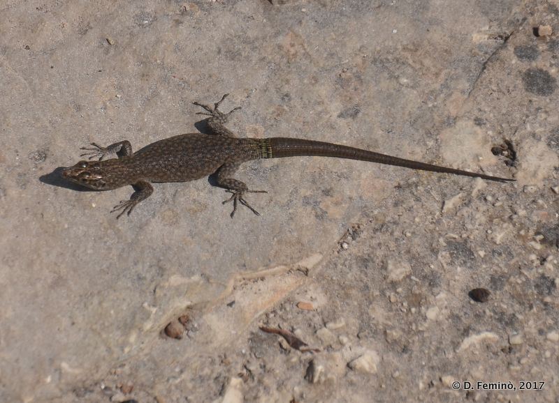 Happy lizard (Malo Grablje, Croatia, 2017)