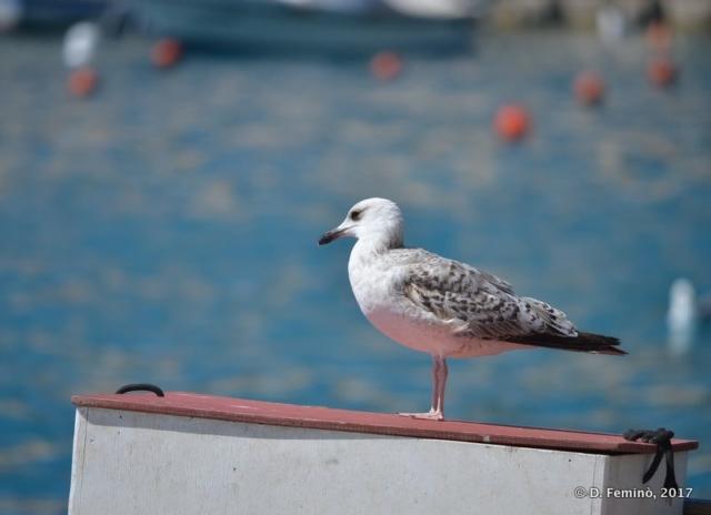 Seagull (Hvar, Croatia, 2017)