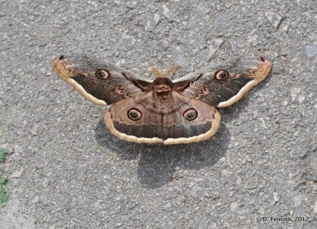 Huge butterfly (Korčula, Croatia, 2017)